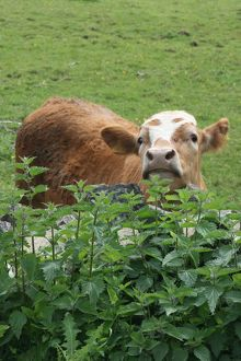 Cow and stinging nettles